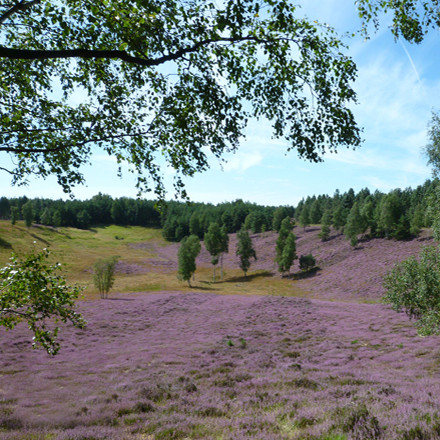 Heidelandschaft Brueggen im Naturschutzgebiet Brachter Wald Naturpark Maas-Schwalm-Nette am Niederrhein