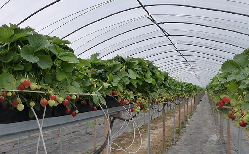 Hochbeet-Erdbeerkultur im Gewächshaustunnel am Niederrhein