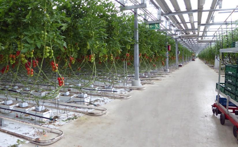 Tomatenproduktion im Gewächshaus in Nettetal am Niederrhein