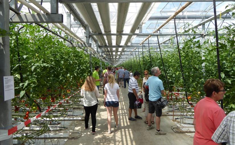 Tomatenproduktion in Nettetal am Niederrhein